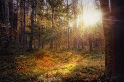 Sunny scene in the morning forest. Idyllic landscape in a mixed forest with the sun between the branches. Sunbeams and lens flare visible