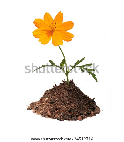 sunny spring orange flower in mound of earth isolated with clipping path - stock photo