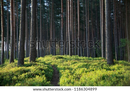 Sunny summer day in the forest with pine trees and green grass. Estonia