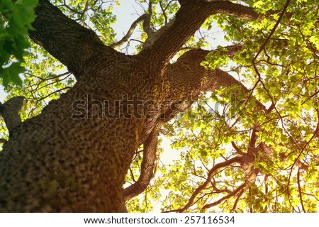 sunny summer photo of maple tree from below