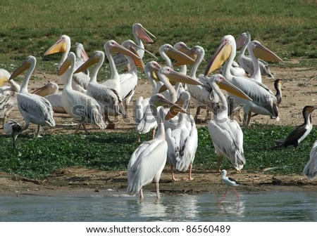 sunny waterside scenery with lots of Great White Pelicans in Uganda (Africa)