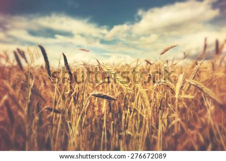 sunny wheat field #276672089