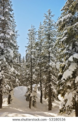 Sunny winter day among the conifers in the Lake Tahoe.