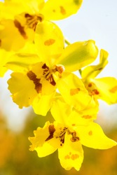 Sunny yellow odontoglossum or moth dendrobium orchid. Background Orchid.
