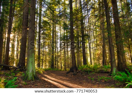 Sunrays filtering thru the forest foliage in a Vancouver Island provincial park, British Columbia, Canada #771740053