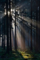 Sunrays in a forest on a hazy morning in winter, a fairy landscape
