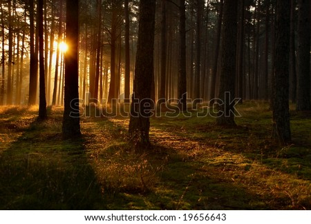 Sunrise in a forest, sunbeams through the trees