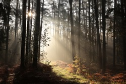 Sunrise in a misty coniferous forest.