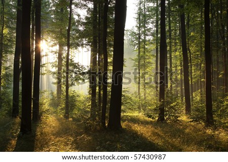 Sunrise in a misty forest on a hot summer morning.