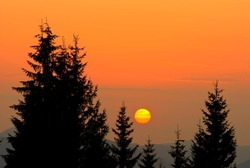 sunrise in a pine tree forest