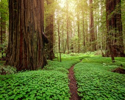 Sunrise in a redwood forest in northern California.