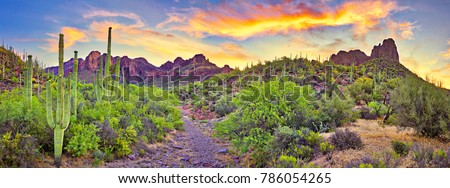 Sunrise in Sonoran Desert, with blooming Saguaros.