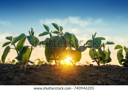 Sunrise in soybean field, sunlight beaming through the leaves of small green young plants of soya