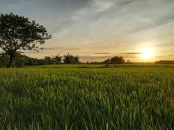 Sunrise in the rice field