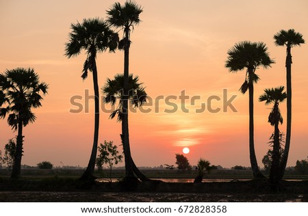 Sunrise landscape with sugar palm trees on the paddy field in morning. Mekong Delta, Chau Doc, An Giang, Vietnam