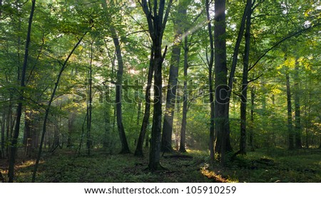 Sunrise light entering old deciduous stand of Bialowieza Forest Landscape Reseve in morning