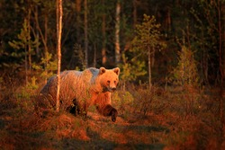 Sunrise, morning light with big brown bear walking around lake in the morning light. Dangerous animal in nature forest and meadow habitat. Wildlife scene from Finland near Russian border.