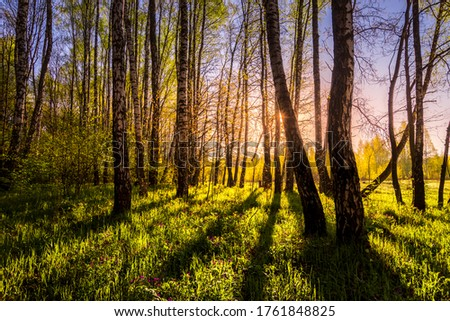 Sunrise or sunset in a spring birch forest with rays of sun shining through tree trunks by shadows and young green grass. Misty morning landscape. Stock foto ©