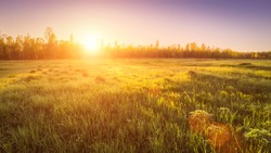 Sunrise or sunset in a spring field with green grass covered with a dew, fog, birch trees and clear bright sky.