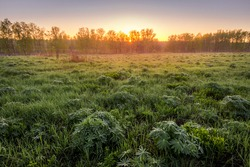 Sunrise or sunset in a spring field with green grass, lupine sprouts, birch trees, fog above the pond on a background and clear bright sky.