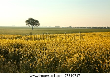 Sunrise over a field of rapeseed in a cloudless spring day.