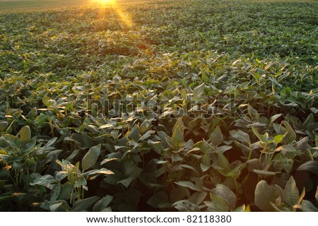 Sunrise over a field of soybeans,