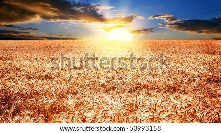 Sunrise over a ripe wheat field