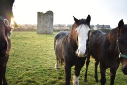 Sunrise over Ancient Castle Ruins with Horses in Ireland Countryside