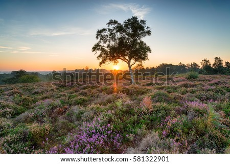 Sunrise over heather on Rockford Common near Ibsley in the New Forest National Park in Hampshire
