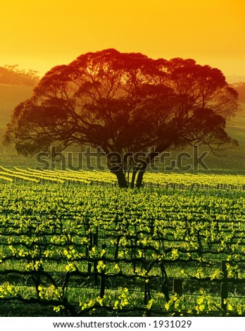 Sunrise over Large Tree in Vineyard