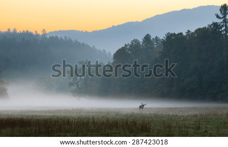 Sunrise over misty meadow with male bull elk grazing.