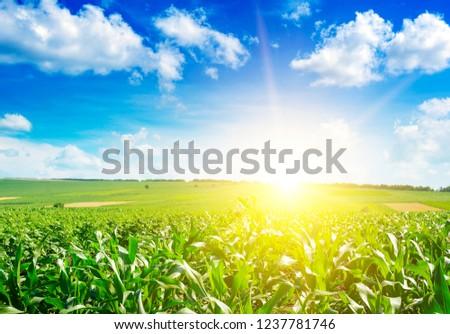 Sunrise over summer corn field. #1237781746