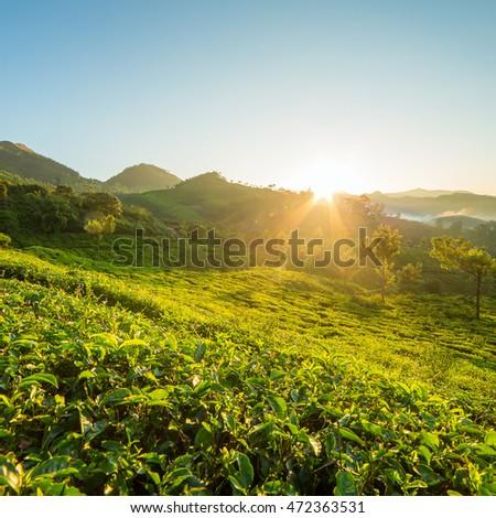 Sunrise over tea plantations in Munnar, Kerala, India   #472363531
