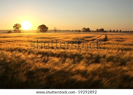 Sunrise over the fields of grain on the first day of summer.