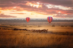 Sunrise over the Masai Mara, with a pair of low-flying hot air balloons and a herd of wildebeest below in the typical red oat grass of the region. In Kenya during the annual Great Migration.