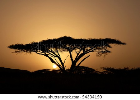 Sunrise through Acacia tree