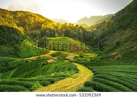 Sunrise view of tea plantation landscape  #533392369