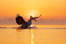 Sunrise with bird, landing to water. Dalmatian pelican, Pelecanus crispus, in Lake Kerkini, Greece. Pelican with open wings. Wildlife scene from European nature. Pelican with orange sky and fog.