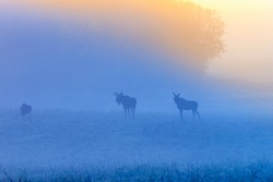 Sunrise with mooses in the fog on the meadow