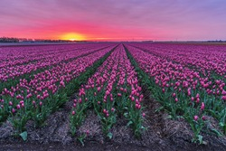 Sunrise with pink purple clouds over the tulip fields at the farm land during spring season, beautiful Sunrise over the tulp fields Noordoostpolder Flevoland Netherlands April 2017