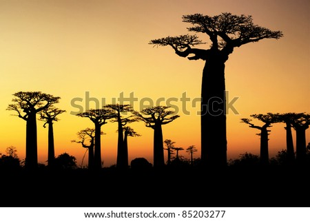 Sunset and baobabs trees - stock photo