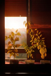 Sunset and pepper seedlings on the window