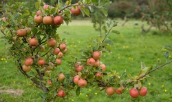 Sunset apple tree  -  young tree covered with heavy crop - old cooking variety of sour fruit.