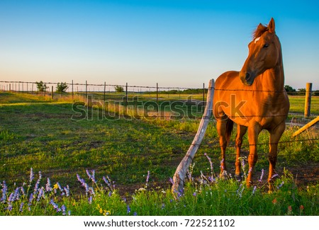 Sunset as Sunny the horse poses for her photo shoot on the Texas hill country prairie with blue flowers and golden shimmer off her coat