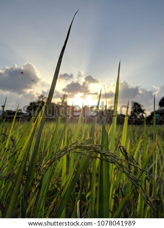 sunset at rice field  #1078041989