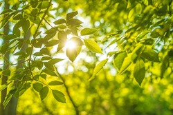 Sunset Backdrop of green fresh summer leaves background with sun light bright