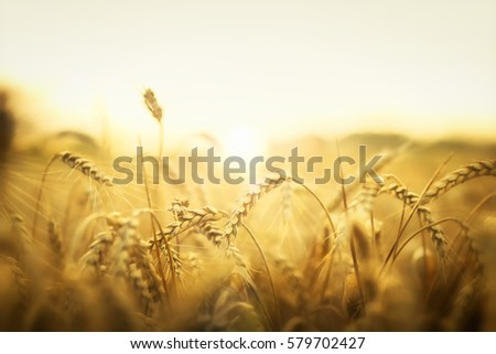 Sunset behind a wheat field.  #579702427