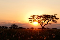 Sunset behind Acacia trees and grass in south africa