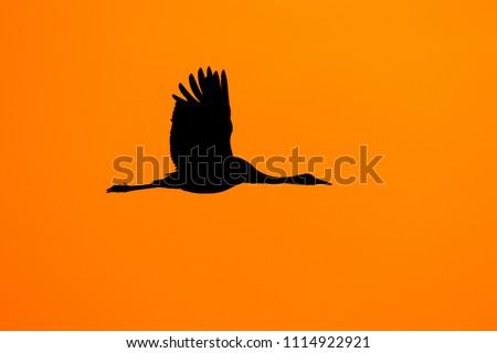 Sunset, bird orange silhouette. Common Crane, Grus grus, big bird in the nature habitat, Lake Hornborga, Sweden. Wildlife scene from Europe. Grey crane with long neck.