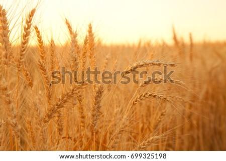 sunset evening golden wheat field #699325198